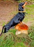 狗达克斯猎犬被找到的大蘑菇牛肝菌蕈类 免版税库存图片