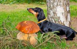 狗达克斯猎犬被找到的大蘑菇牛肝菌蕈类 库存照片