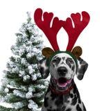 狗达尔马希亚礼服新年作为圣诞节驯鹿hor 免版税库存图片