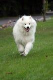 狗运行中 免版税库存照片