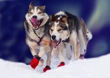 狗运行 免版税库存图片