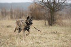 狗运载一根棍子 库存图片