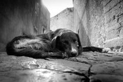 狗迷路者 免版税库存照片