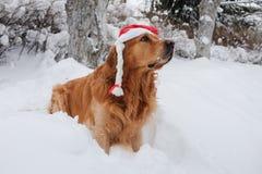 狗金毛猎犬佩带的圣诞节帽子 免版税库存图片