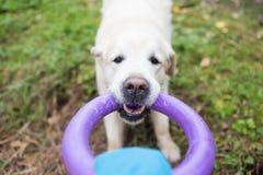 狗金毛猎犬使用与他的所有者扯拽的玩具,当走时 库存图片