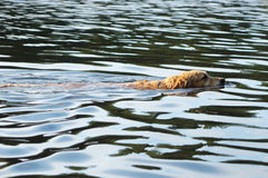 狗金毛猎犬在水,水面上的头,波浪中游泳 免版税库存照片