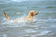狗金毛猎犬游泳 库存图片