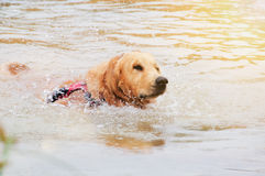 狗金毛猎犬游泳 免版税库存图片