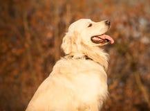 狗金毛猎犬年轻人 免版税图库摄影