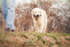 狗金毛猎犬年轻人 免版税库存图片