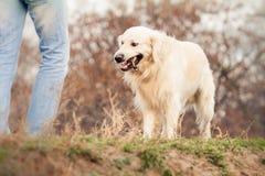 狗金毛猎犬年轻人 图库摄影