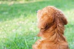 狗金毛猎犬 免版税图库摄影