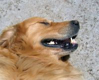 狗金毛猎犬 库存照片