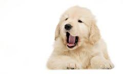 狗金黄宠物猎犬 库存照片