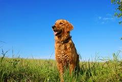 狗金黄纵向猎犬 库存图片