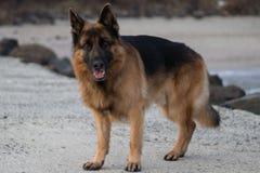 狗阿提拉的画象照片 免版税图库摄影
