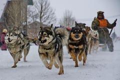 狗雪撬 阿拉斯加的爱斯基摩狗相当是一个大原史类型狗,被设计工作在队,其中一个狗最旧的品种  免版税库存照片