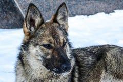 狗非常类似于狼坐并且凝视入距离 免版税库存照片
