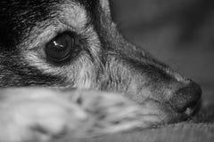 狗面孔特写镜头 库存照片