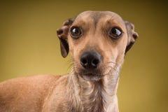 狗面孔的特写镜头画象 免版税库存照片