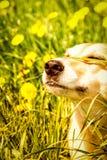 狗面孔 免版税库存照片