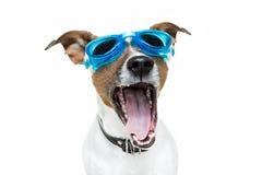 狗风镜 免版税库存图片