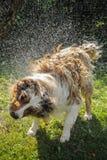狗飞溅浇灌 库存图片