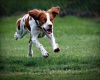 狗飞跃 免版税库存照片