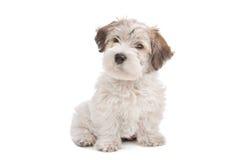 狗马尔他混合小狗 免版税库存照片