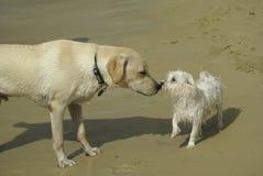 狗马尔他的拉布拉多 免版税库存图片
