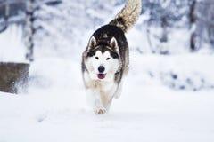 狗鹦鹉阿拉斯加的爱斯基摩狗 免版税库存图片