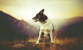 狗黑白博德牧羊犬在草坐小山 免版税库存图片