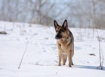 狗,一个积雪的倾斜的德国牧羊犬 库存照片
