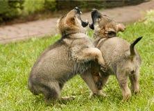狗,一只德国牧羊犬的小狗 免版税库存图片