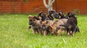 狗,一只德国牧羊犬的小狗 图库摄影