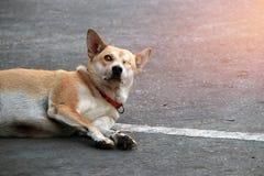 狗,一的橙色棕色颜色无眼和缝合紧密 放下在水泥地板上早晨 库存图片