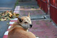 狗,一的橙色棕色颜色无眼和缝合紧密 放下在路旁边的小径 免版税库存照片
