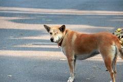 狗,一的橙色棕色颜色无眼和缝合紧密 站立在具体地面上 免版税图库摄影