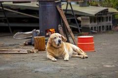 狗,人的朋友,一条棕色狗,拉布拉多 库存照片