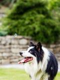 狗,博德牧羊犬,观看的泡影 库存照片
