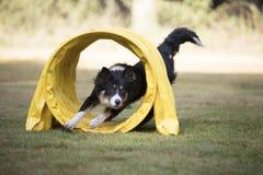 狗,博德牧羊犬,跑通过敏捷性隧道 库存图片