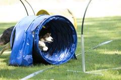 狗,博德牧羊犬,跑通过敏捷性隧道 图库摄影