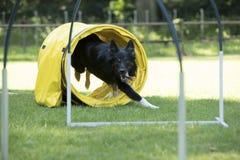 狗,博德牧羊犬,跑通过敏捷性隧道 免版税库存图片