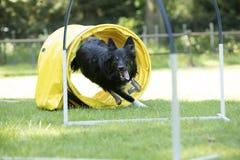 狗,博德牧羊犬,跑通过敏捷性隧道 库存照片