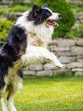 狗,博德牧羊犬,跳跃在行动 库存照片