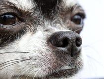 狗,我可爱的奇瓦瓦狗的鼻子 免版税图库摄影