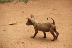 狗,斯里兰卡 免版税库存图片