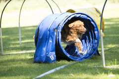 狗,新斯科舍鸭子敲的猎犬,跑通过敏捷性 免版税库存图片