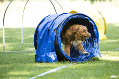 狗,新斯科舍鸭子敲的猎犬,跑通过敏捷性 免版税库存照片