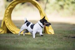 狗,杰克罗素狗,跑通过敏捷性隧道 免版税库存图片